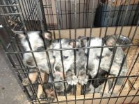 Austrailian Blue Heeler Puppies for sale in Williamsfield, OH 44093, USA. price: NA