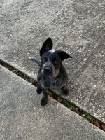 Austrailian Blue Heeler Puppies for sale in Racine, WI 53406, USA. price: NA