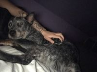 Austrailian Blue Heeler Puppies for sale in Baltimore, MD, USA. price: NA