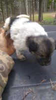 Austrailian Blue Heeler Puppies for sale in Concord, VA 24538, USA. price: NA