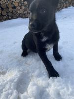 Austrailian Blue Heeler Puppies for sale in 34W880 Army Trail Rd, St. Charles, IL 60174, USA. price: NA