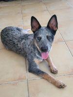 Austrailian Blue Heeler Puppies for sale in Houston, TX 77096, USA. price: NA
