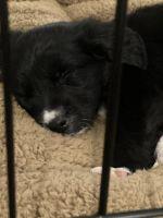 Austrailian Blue Heeler Puppies Photos