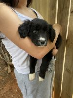 Austrailian Blue Heeler Puppies for sale in Greer, SC, USA. price: NA