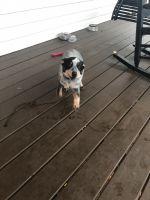 Austrailian Blue Heeler Puppies for sale in 20 Brent Ct, Douglasville, GA 30134, USA. price: NA