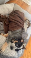Austrailian Blue Heeler Puppies for sale in Hagerstown, MD, USA. price: NA
