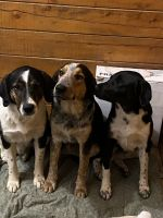 Austrailian Blue Heeler Puppies for sale in Jacksonville, TX 75766, USA. price: NA