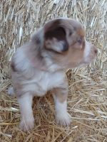 Austrailian Blue Heeler Puppies for sale in 764 Upper Rattlesnake Rd, Arbon, ID 83212, USA. price: NA