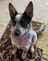 Austrailian Blue Heeler Puppies for sale in Huntington, WV, USA. price: NA