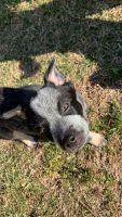 Austrailian Blue Heeler Puppies for sale in Woodbridge, VA 22191, USA. price: NA
