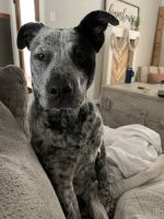 Austrailian Blue Heeler Puppies for sale in Conroe, TX, USA. price: NA