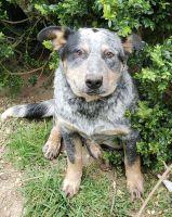 Austrailian Blue Heeler Puppies for sale in Lake Stevens, WA 98258, USA. price: NA