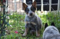 Austrailian Blue Heeler Puppies for sale in Los Angeles, CA, USA. price: NA