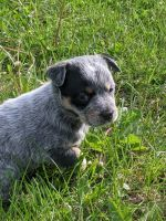 Austrailian Blue Heeler Puppies for sale in Piqua, OH 45356, USA. price: NA
