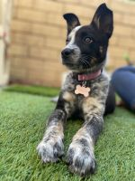 Austrailian Blue Heeler Puppies for sale in Lakeside, CA, USA. price: NA