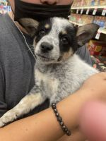 Austrailian Blue Heeler Puppies for sale in Lakewood, CA, USA. price: NA