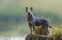 austrailian blue heeler dog