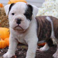 Australian Bulldog Puppies Photos