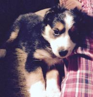 Australian Cattle Dog Puppies for sale in Tawas City, MI 48763, USA. price: NA