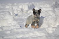 Australian Cattle Dog Puppies for sale in Hardyville, KY 42746, USA. price: NA