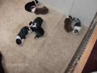 Australian Cattle Dog Puppies for sale in Houston, TX, USA. price: NA