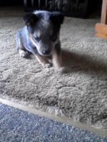 Australian Cattle Dog Puppies for sale in Indianapolis, IN, USA. price: NA