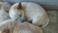 Australian Cattle Dog Puppies for sale in Temecula, CA, USA. price: NA