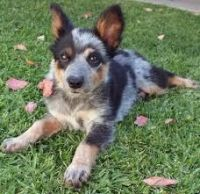 Australian Cattle Dog Puppies for sale in Kahului, HI, USA. price: NA