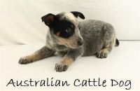 Australian Cattle Dog Puppies for sale in San Diego, CA, USA. price: NA