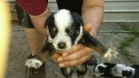 Australian Cattle Dog Puppies for sale in Post Falls, ID 83854, USA. price: NA