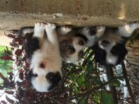 Australian Cattle Dog Puppies for sale in Louisville, KY, USA. price: NA