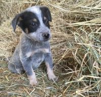 Australian Cattle Dog Puppies for sale in Colorado Springs, CO, USA. price: NA