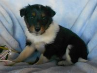 Australian Cattle Dog Puppies for sale in Canton, OH, USA. price: NA