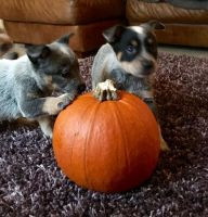 Australian Cattle Dog Puppies for sale in Albuquerque, NM, USA. price: NA
