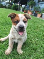 Australian Cattle Dog Puppies for sale in New Haven, CT, USA. price: NA