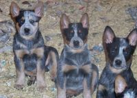 Australian Cattle Dog Puppies for sale in Carlsbad, CA, USA. price: NA