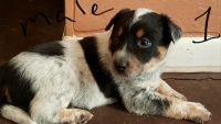 Australian Cattle Dog Puppies for sale in Cumberland, MD 21502, USA. price: NA