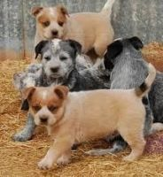 Australian Cattle Dog Puppies for sale in Beaver Creek, CO 81620, USA. price: NA