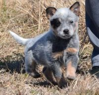 Australian Cattle Dog Puppies for sale in Dallas, TX, USA. price: NA