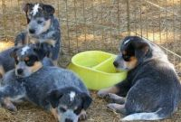 Australian Cattle Dog Puppies for sale in Charlotte, NC, USA. price: NA