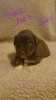 Australian Cattle Dog Puppies for sale in Cygnet, OH 43413, USA. price: NA