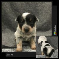 Australian Cattle Dog Puppies for sale in Lavalette, WV 25535, USA. price: NA