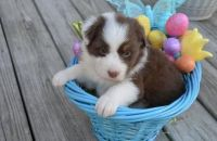 Australian Cattle Dog Puppies for sale in Agoura Hills, CA, USA. price: NA