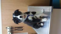 Australian Cattle Dog Puppies for sale in Hamilton, OH, USA. price: NA