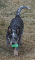 Australian Cattle Dog Puppies for sale in Carlin, NV 89822, USA. price: NA
