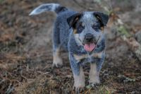 Australian Cattle Dog Puppies for sale in Denver, CO, USA. price: NA