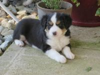 Australian Cattle Dog Puppies for sale in Austin, TX, USA. price: NA