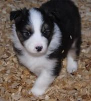 Australian Cattle Dog Puppies for sale in Concord, CA, USA. price: NA