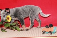 Australian Cattle Dog Puppies for sale in Anaheim, CA, USA. price: NA