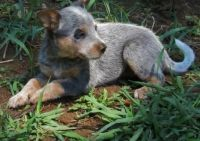Australian Cattle Dog Puppies for sale in Los Angeles, CA, USA. price: NA